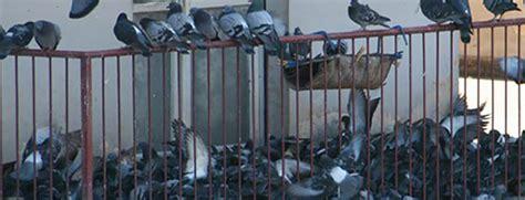 scacciare  piccioni che nidificano su terrazzi