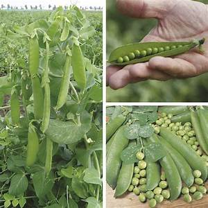 Pea Veg Plant Collection From Mr Fothergills Seeds And Plants