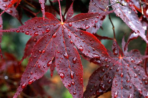 drops, Rain, Veins, Red, Autumn, Leaves Wallpapers HD ...