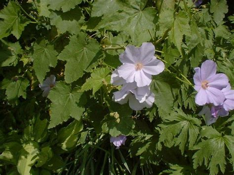 plantfiles pictures indian mallow abutilon  suntense