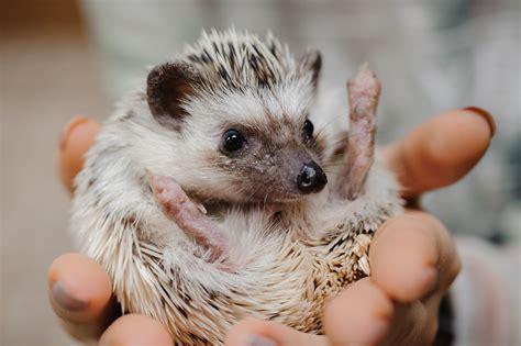 living room azuki the hedgehog is a viral sensation