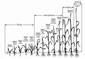 Nmsu  Leaf  Stem And Stripe Rust Diseases Of Wheat