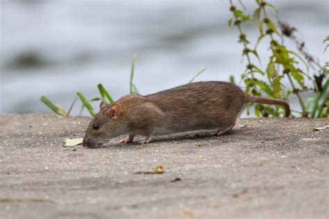 Ways To Prevent Rats From Entering Your Garden