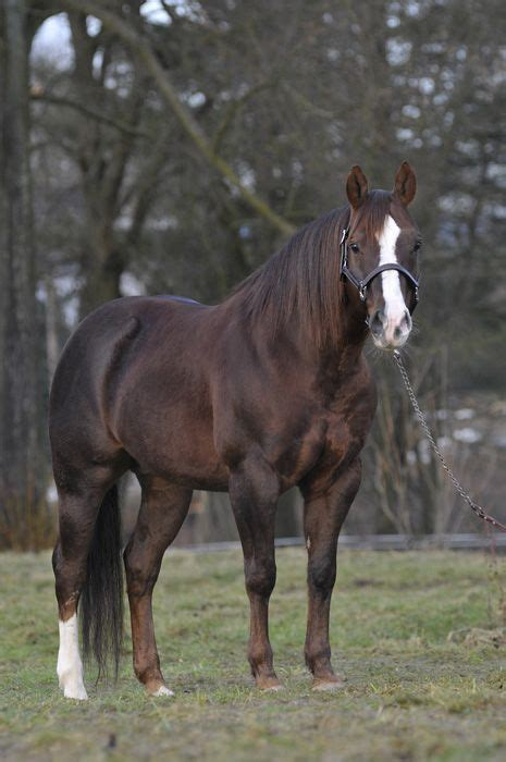 horses quarter horse american stallion pretty chestnut mare fastest magician names aqha breeds stud ranch majestic palomino would favorite wild