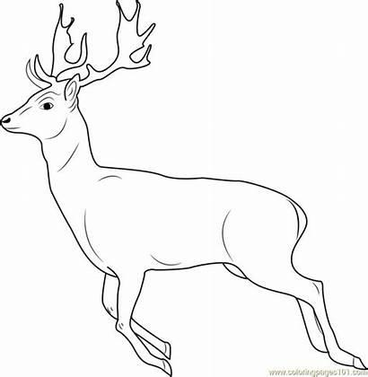 Deer Gambar Coloring Running Rusa Putih Hitam