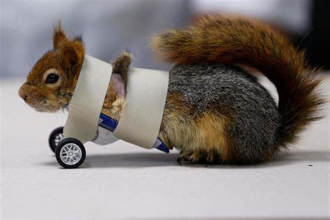 squirrel named karamel   prosthetic wheels