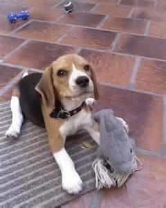 Toy Beagle