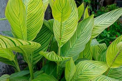Leaves Tropical Canna Lily Plants Zone Hardy