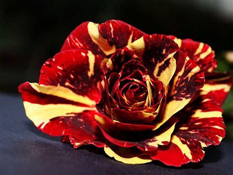 Et Images Et Jaune Flowers Photo 33450997 Fanpop