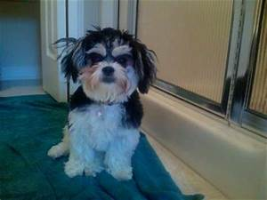 Black And White Maltese Shih Tzu | www.pixshark.com ...