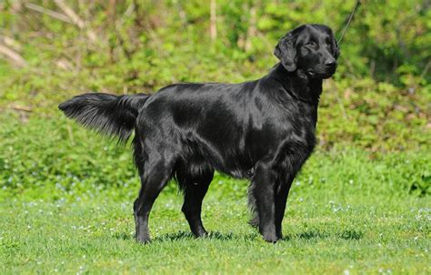 Flat Coated Retriever Molting by Flat Coated Retriever Breed Information And Images