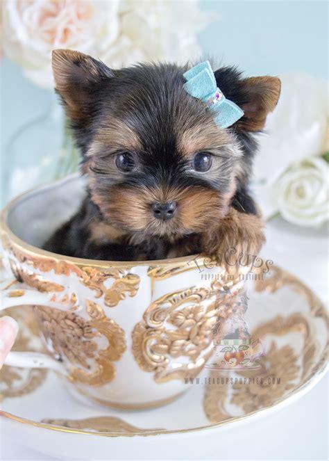 cute yorkie puppy  sale  broward teacups puppies boutique