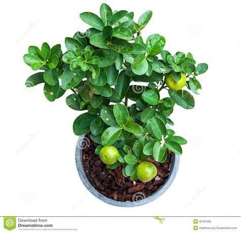 isolated lemon tree in pot stock photo image 40181082