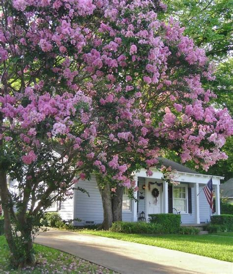 1000 images about crape myrtle on trees