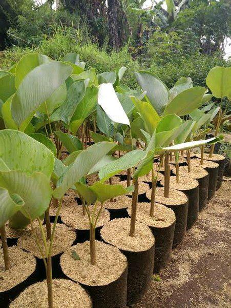 jual tanaman hias kalatea pisang calathea lutea lapak
