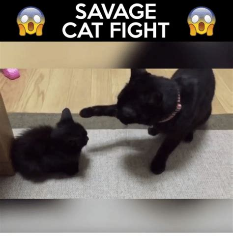 Cat Fight Meme - savage cat fight meme on sizzle