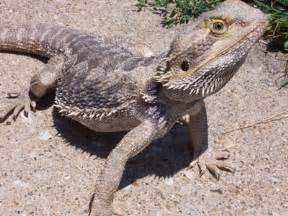 Shedding Bearded Dragons Problems by Guy With A Cellphone Cam Hulst Frog