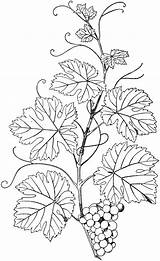 Embroidery Vine Natural Pages Branches Vines Patterns Grape Coloring Pyrography Branch Drawing Etc Drawings Clipart Leaves Leaf Colouring Grapes Pattern sketch template