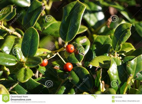 green bush with berries red berries stock photo image 69125866