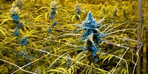 La culture de cannabis explose en Wallonie La DH