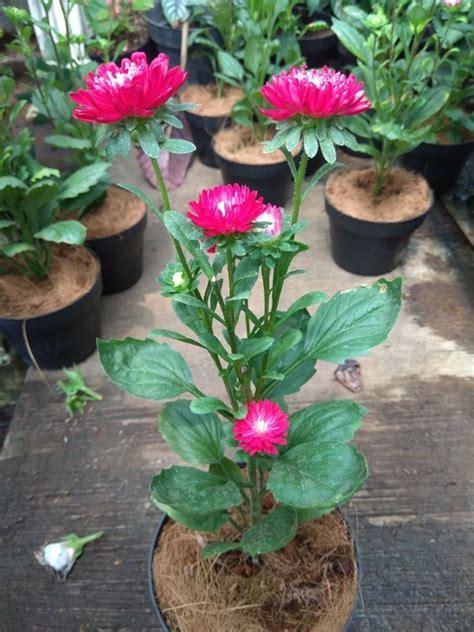 jual tanaman aster merah tumpuk bibitbungacom