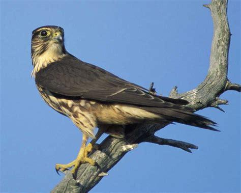 Merlin | Audubon Field Guide