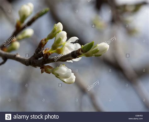 tree with white buds apple tree flower buds branch with white apple flower buds stock photo royalty free image