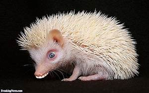 Little Hedgehog with Teeth Pictures - Freaking News
