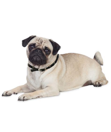 pug puppies dogs  adoption