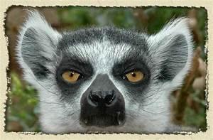 Ring tail Lemur... Cute Lemur Quotes