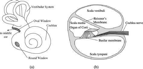 Blank Diagram Of The Cochlea by Diagram Of The Mammalian Inner Ear A And A Cross Section