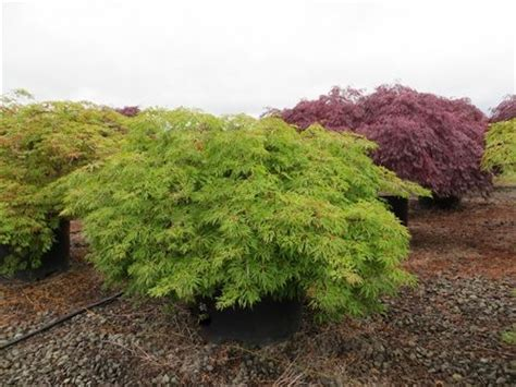 green weeping japanese maple japanese maple weeping green globe 10 quot pot hello hello plants garden supplies