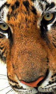Tiger eyes | Tiger eyes | @Doug88888 | Flickr