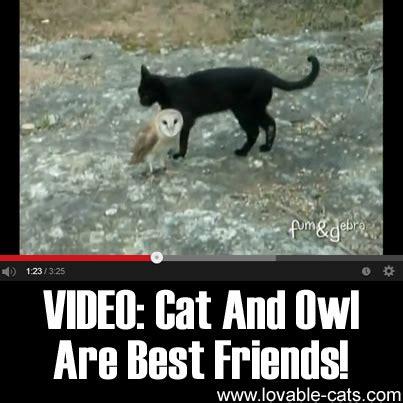 lovable cats video cat  owl   friends