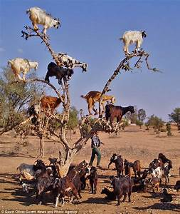 Silly billies! Why WOULD nine goats climb a tree? | Daily ...