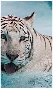 water, snow, animals, wildlife, white tiger, tongue - Free ...