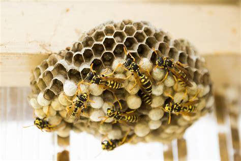 wie sieht ein wespennest aus wespen gef 228 hrlich oder gef 228 hrdet freiwillige feuerwehr freising e v