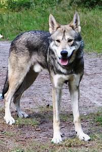 Saarloos wolfdog - Wikipedia