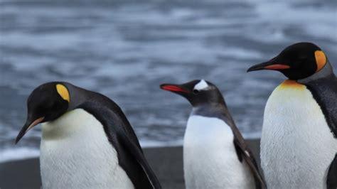 What Sound Do Penguins Make