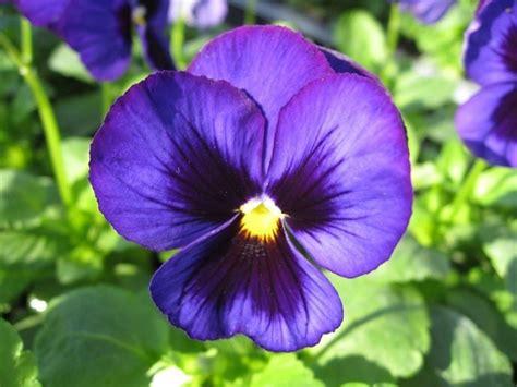 Fiore Flowers by Vivere I Fiori La Viola Il Fiore Ricordo