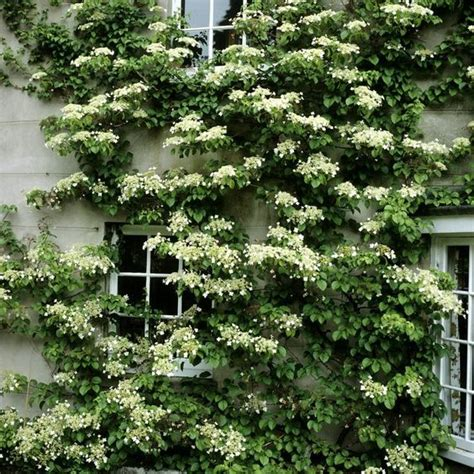 Climbing Plants For North Facing Wall  Pretty Clean And