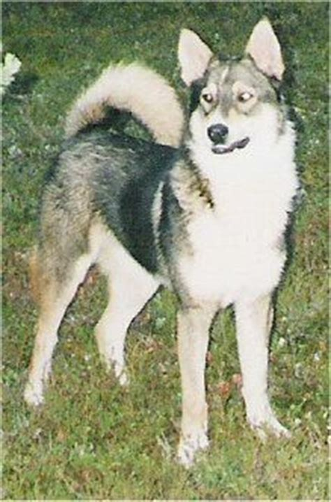 17 Best Images About East Siberian Laika On Pinterest