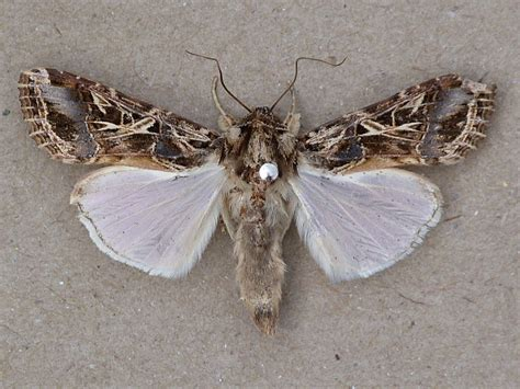 http://www.africanmoths.com/pages/NOCTUIIDAE/XYLENINAE/spodoptera%20littoralis.htm