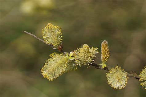 Fleurs de Saule blanc - Les Taxinomes