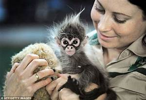 What a cutie! Baby spider monkey abandoned at birth runs ...