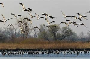 Migratory Birds  Migration