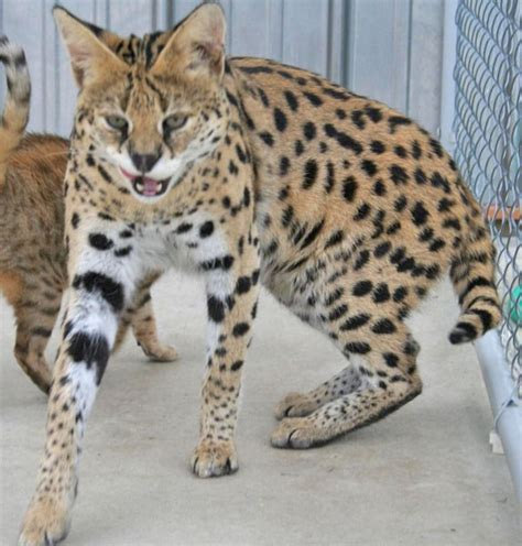 serval stud cats select exotics savannah cats