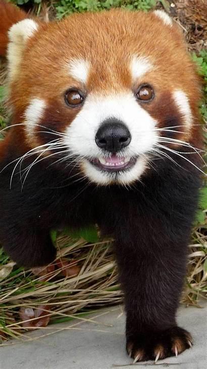 Panda Wallpapers Iphone Animal Cute Pandas Baby