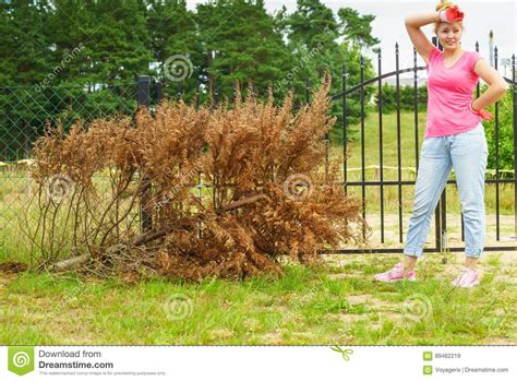 Removing Trees From Backyard by Removing Dried Thuja Tree From Backyard Stock Photo