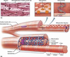 Diagram Of Cardiac Muscle, Diagram, Free Engine Image For ...